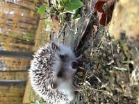 Hedgehog babies ready for new homes now!