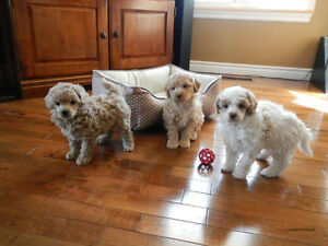Large toy Poodle