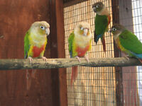 CONURE Red Factor Yellow Sided pr + Pineapple Conure pr+ Pearly