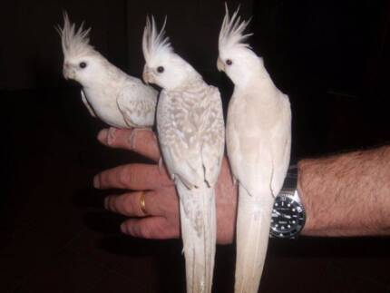 Hand raised Weiros, Cockatiels and Budgies