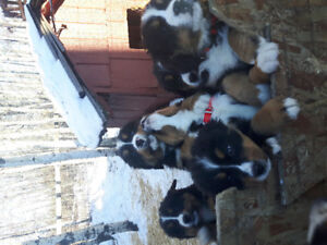 Bernese Mountain Pups for sale just in time for Christmas!