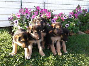 Sheperd mix pups