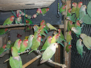 LOVEBIRDS FOR SALE NEW BABIES READY TO HAND FEED Sarnia Sarnia Area image 1