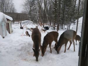 Chalet en VIP, nourrir les chevreuils et sports d'hiver