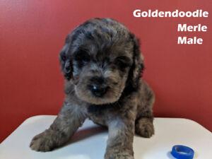 Georgous Labradoodles and Goldendoodles for sale - à vendre