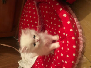 price reduced, two kittens white female and grey is male