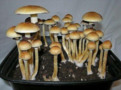 All in one mushroom grow kit. Mono tub complete kit. cube grow kit.