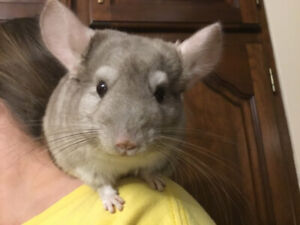 Chinchilla With everything