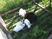 New Zealand Meat Rabbits