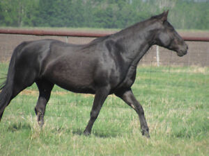 Registered Tennessee Walking Mare