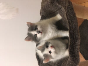 Chatons à donner Rive-Sud