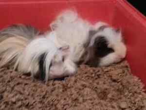 Two long haired Guinea Pigs for rehoming !