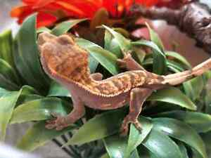 Baby crested gecko BLACK FRIDAY PRICE REDUCTION Kingston Kingston Area image 2