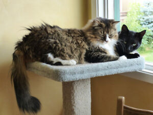 Lost Beautiful Female Long Haired Tabby Cat