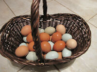 Fertile heritage hatching chicken eggs