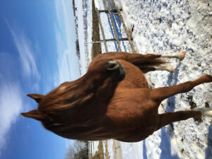 Trail/ companion horse registered