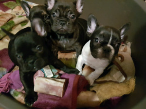 STOCKY FRENCHBULLDOG PUPPIES