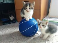 Adorable cuddly kittens for sale