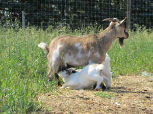 Price Reduced Pygmy Goats