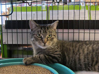 Rescued brown tabby female for adoption - Courtney