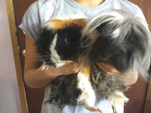 2 adorable Guinea Pigs with Cage and Food