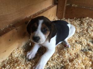 Walker Hound Puppies