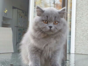 British Shorthair blues kittens!