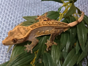 Male Full Pin Crested Gecko