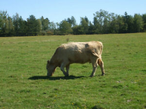 Bred beef cow and 7 calves for sale near Amherst n.s