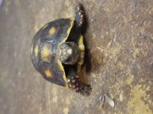 Baby red foot tortoise at The Extreme Aquarium here in Sarnia