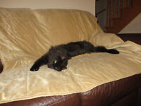 Persian kitten 11 month old is looking for a loving home