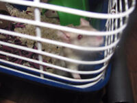 11 baby rats ready for loving home