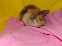 Holland lop baby bunny - girl