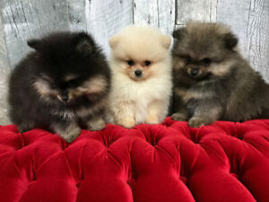 Pomeranian Pups ready To go Just one Male left