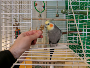 4 month old or so male cockatiel