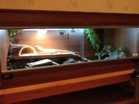 Bearded Dragon with FULL set up & LOADS of extras