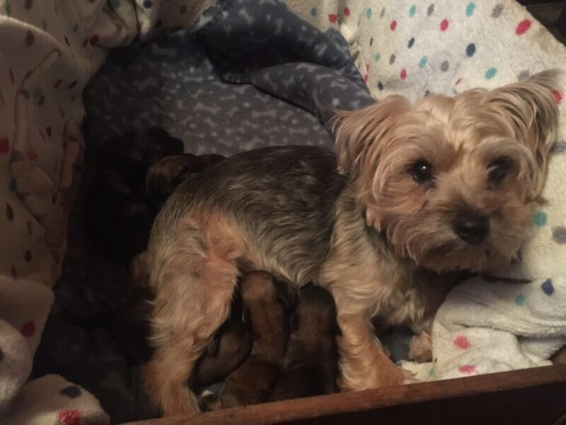 Beautiful Yorkie x Chihuahua (chorkie) puppies for sale