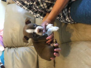 BEAUTIFUL BOSTON TERRIER PUPS BEST BOSTONS IN THE GTA