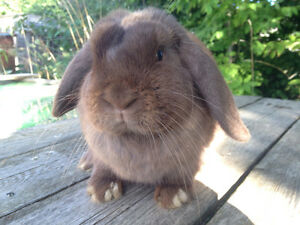 Pet Holland Lop Bunny For Sale!