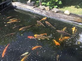 Ghost koi and goldfish need re-homing