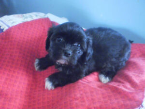 2 adorable lhasa apso puppies left