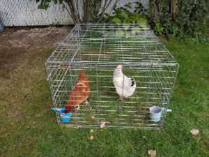 Backyard egg chickens - Poulets pondeuses - ALL INCLUDED!