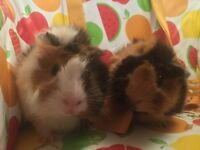 2 Female guinea pigs for sale!(With cage!)