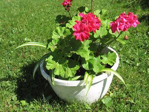 Belles Plantes pour la Maison / Lovely Indoor Plants West Island Greater Montréal image 5