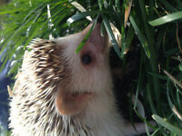 6 friendly healthy cute hedgehogs for sale
