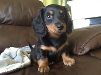 Dachshund puppy (black and tan longhaired)
