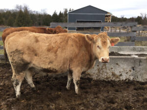 Bred Blonde Cow for Sale