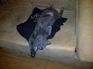 chat gris très tranquil