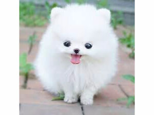 LOOKING FOR POMERANIAN!!!
