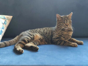 EXTREMELY FRIENDLY 1.5 yrs TABBY CAT VACCINED MICROCHIPED DEWORM